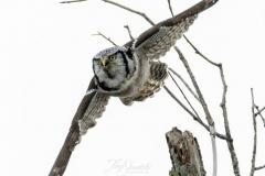 Hawk Owl 3 - Jan 2020 Schomberg