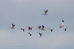 Snow Geese - Oct 2019 New Liskeard