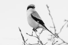 Loggerhead Shrike - May 2019 Napanee