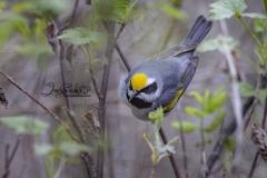Golden Winged Warbler Presquile Provincial Park May 2021