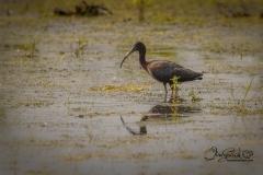 Glossy Ibis Cranberry Marsh June 2021