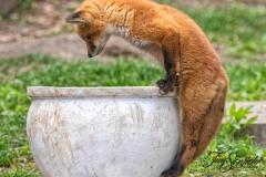 Red Fox Kits 11