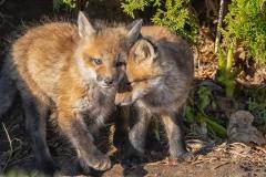 Red Fox Kits 14