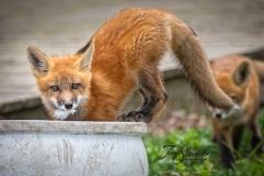 Red Fox Kits 12