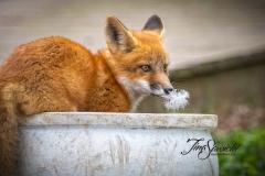 Red Fox Kit 4