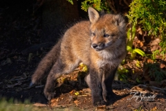One-Eared Red Fox Kit 1