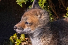 One-Eared Red Fox Kit 3
