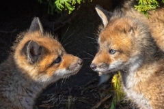 One-Eared Red Fox Kit 4
