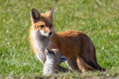 Red Fox Parent and Kits 3