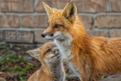 Red Fox Parent and Kits 2