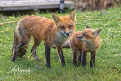 Red Fox Parent and Kits 1