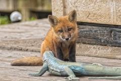 Red Fox Kit 12
