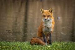 Red Fox Vixen 6