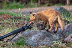 Curious Red Fox Kit 2
