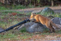 Curious Red Fox Kit 1