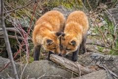 Red Fox Kits 8