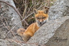 Red Fox Kit 13