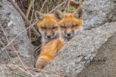 Red Fox Kits 7