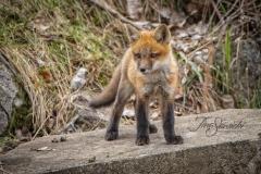 Red Fox Kit 14