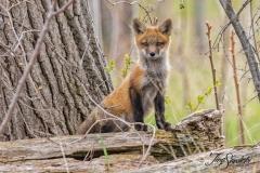 Red Fox Kit 17