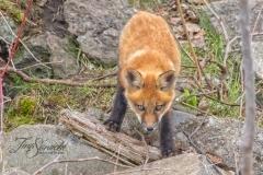 Red Fox Kit 16