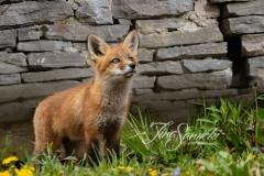 Red Fox Kit 1