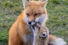 Red Fox Parent and Kits 10