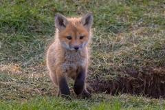 Red Fox Kit 20