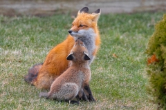 Red Fox Parent and Kits 11