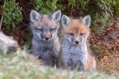 Red Fox Kits 3
