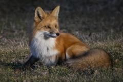 Fox in Sun