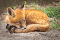 Red Fox Kit 21