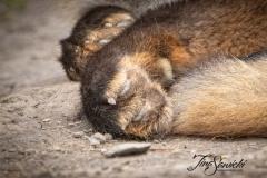 Red Fox Feet