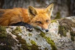 Red Fox Vixen 4