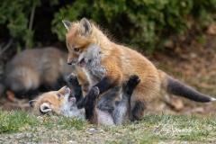 Red Fox Kits 1