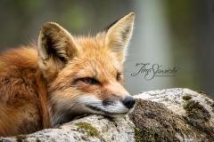 Red Fox Vixen 10