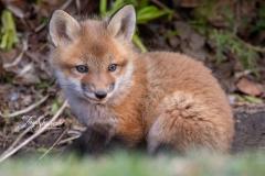 Red Fox Kit 24