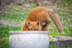 Red Fox Kits 9