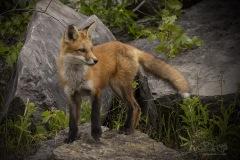 Red Fox Kit Posing
