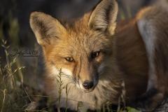 Fox in Sunshine