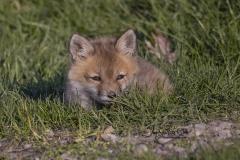 Tiny Red Fox Kit 2