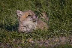 Tiny Red Fox Kit 5
