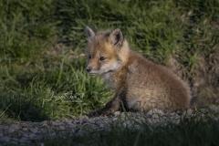 Tiny Red Fox Kit 7