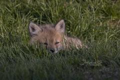 Tiny Red Fox Kit 8