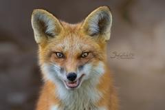 Crazy Red Fox