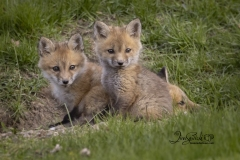 Red Fox Kits 5