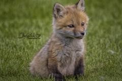 Tiny Red Fox Kit 3
