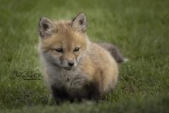 Tiny Red Fox Kit 4