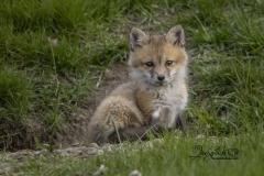 Tiny Red Fox Kit
