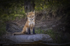 Red Fox Kit Watching Over Ledge